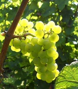 Champagne - 2010 - Harvest - chardonnay grape ripening