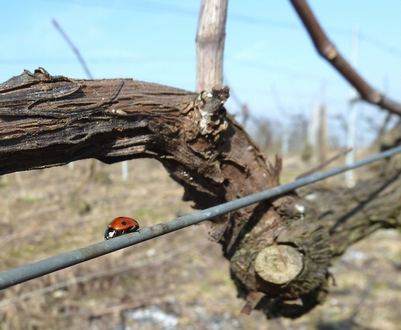 Printemps en Champagne - Coccinelle funambule - Spring in the vineyards in Champagne