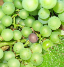 Botrytis cinerea - aout-august 2006