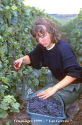 Vendanges 1999 Harvest - Vignobles Raymond Boulard et Fils - Vineyards  Champagne